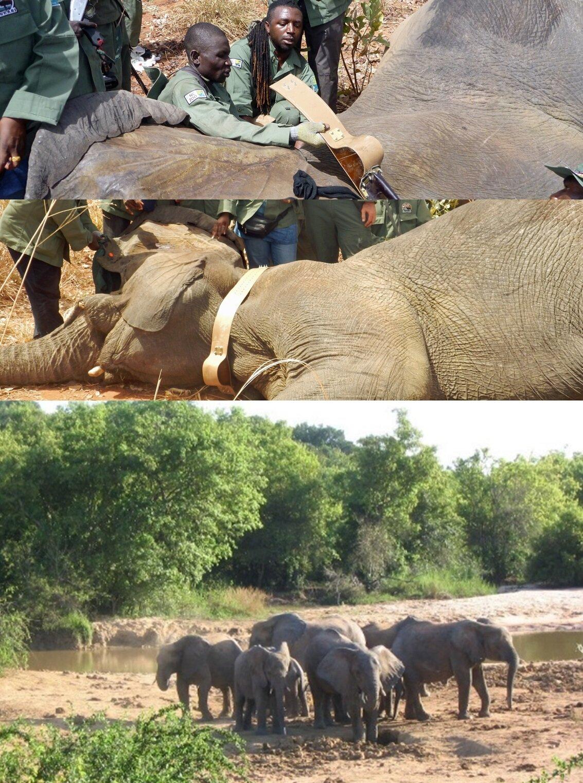 Collaring elephants in Nigeria Yankari National Park.jpg