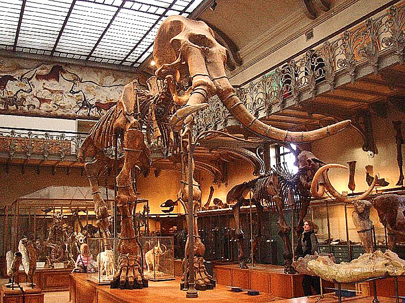 Two mammoth skeletal mounts on exhibit at the  French National Museum of Natural History  in Paris: a  southern mammoth  ,  Mammuthus meridionalis,  and a  woolly mammoth  (  Mammuthus primigenius  ). via  Wiki commons by Ghedo.