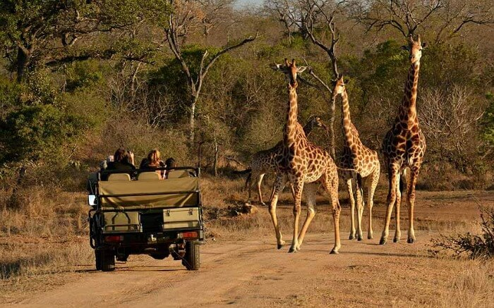 Travelers-taking-up-jeep-safari-in-Thornybush-Game-Reserve-in-Kruger-National-Park-ss22082017.jpg