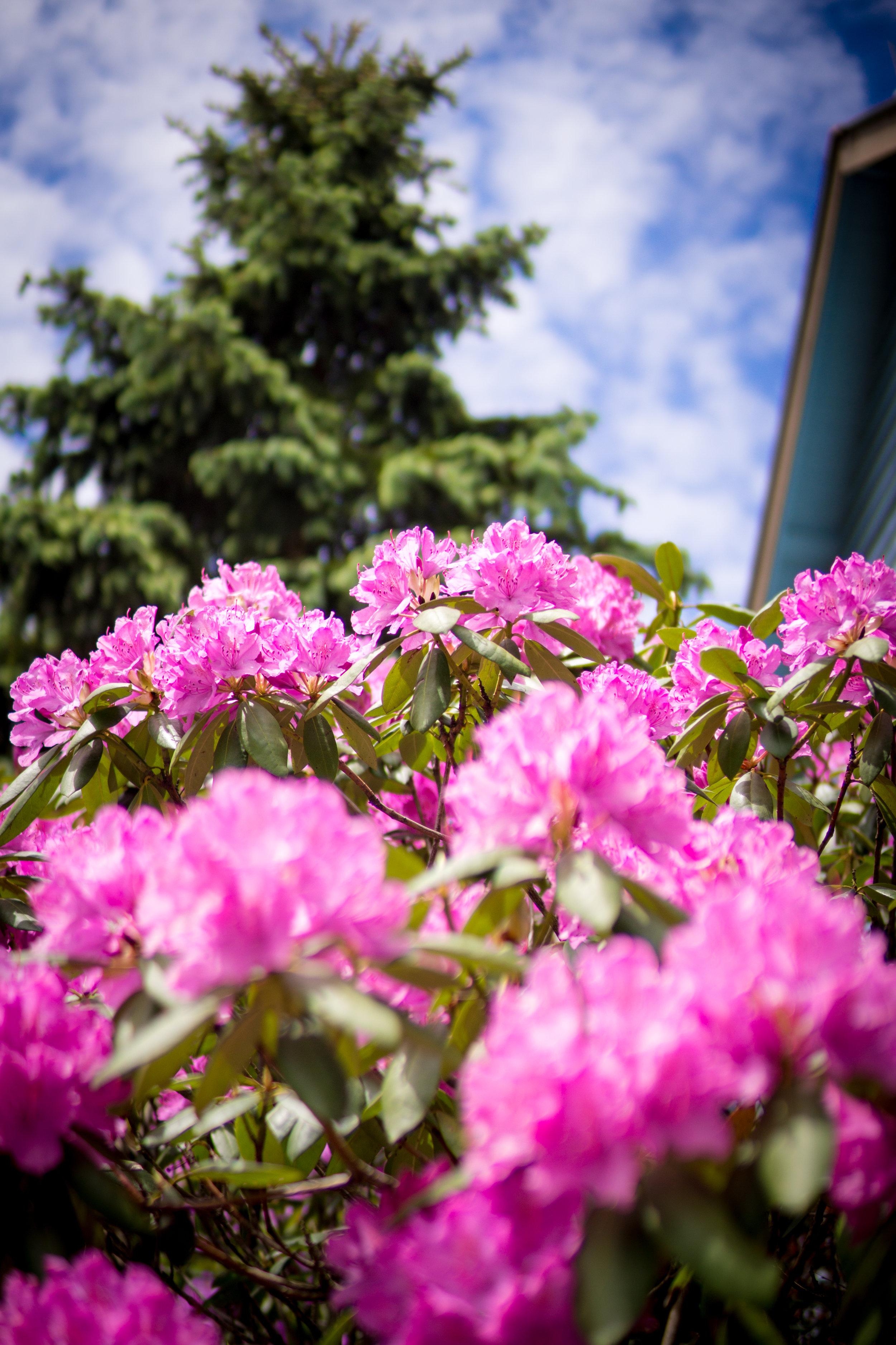 Rhododendron & Fir