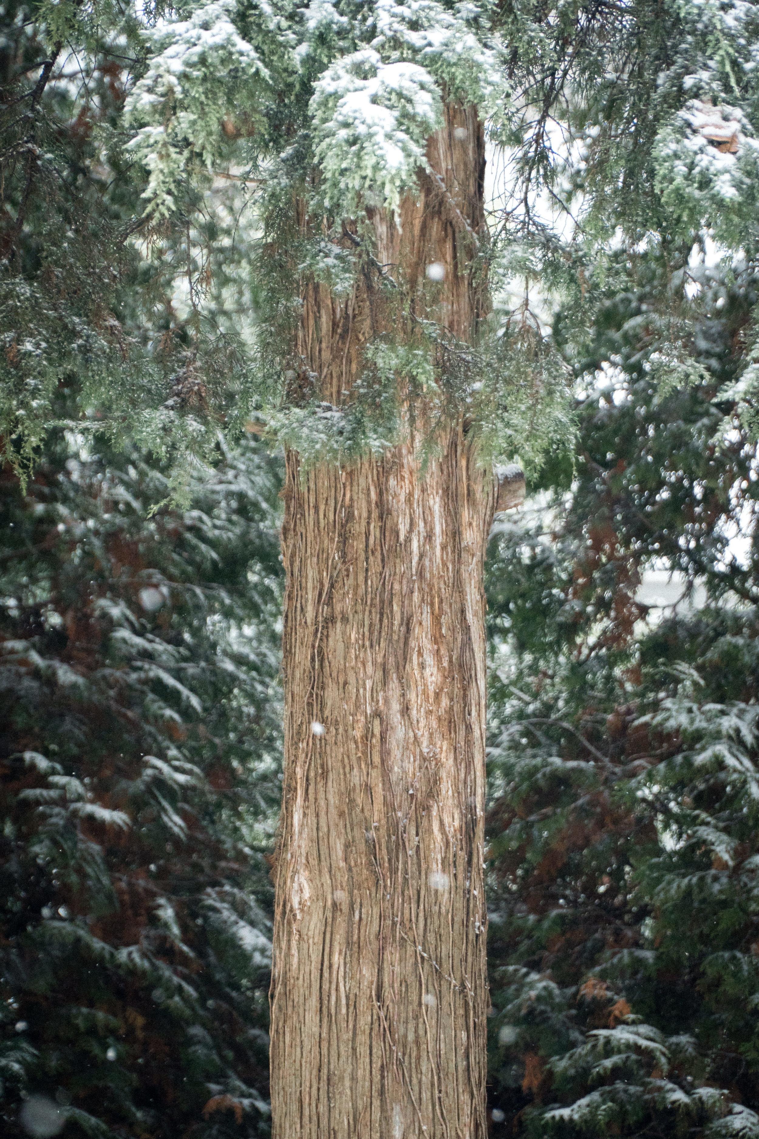 Cedar Snowfall