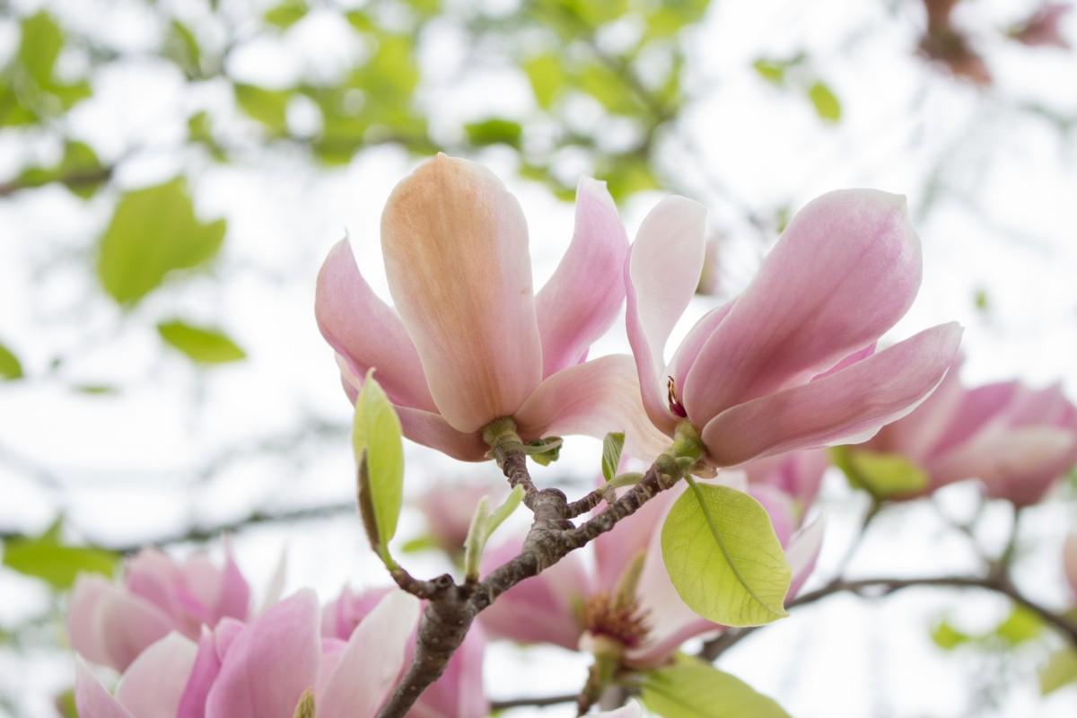 Magnolien Blätter-o.jpg