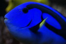 hawaii-doctor-fish-332112__180.jpg