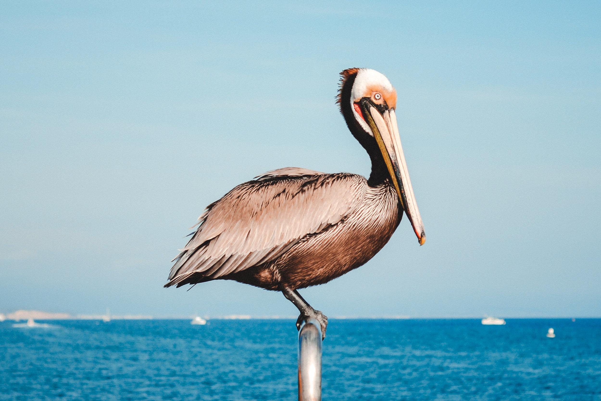 ryan thompson creative photography - pelican 1
