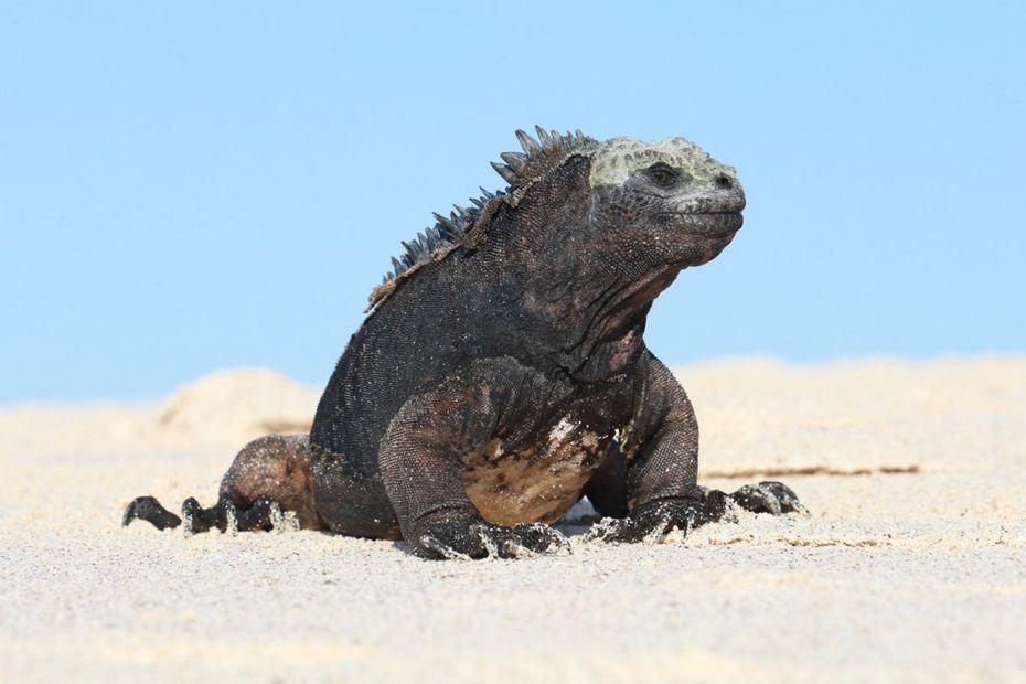 5-punta-espinoza-silversea-galapagos-cruise-marine-iguana.jpg