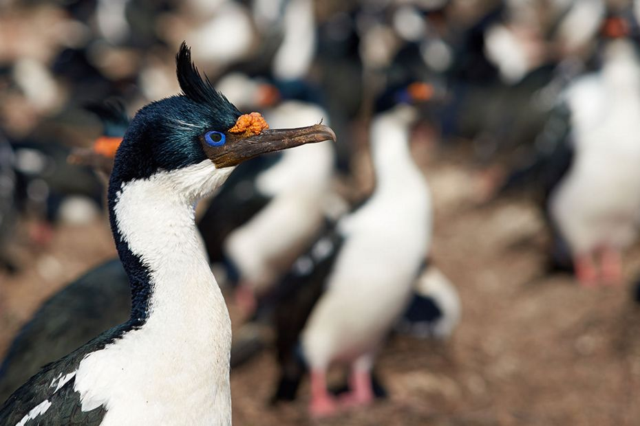silversea-antarctica-cruise-blue-eyed-shag.jpg