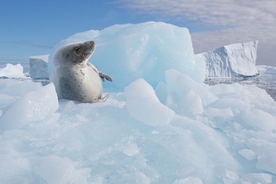 silversea-antarctica-cruise-crabeater-seal-at-pleneau-bay-antarctica.jpg