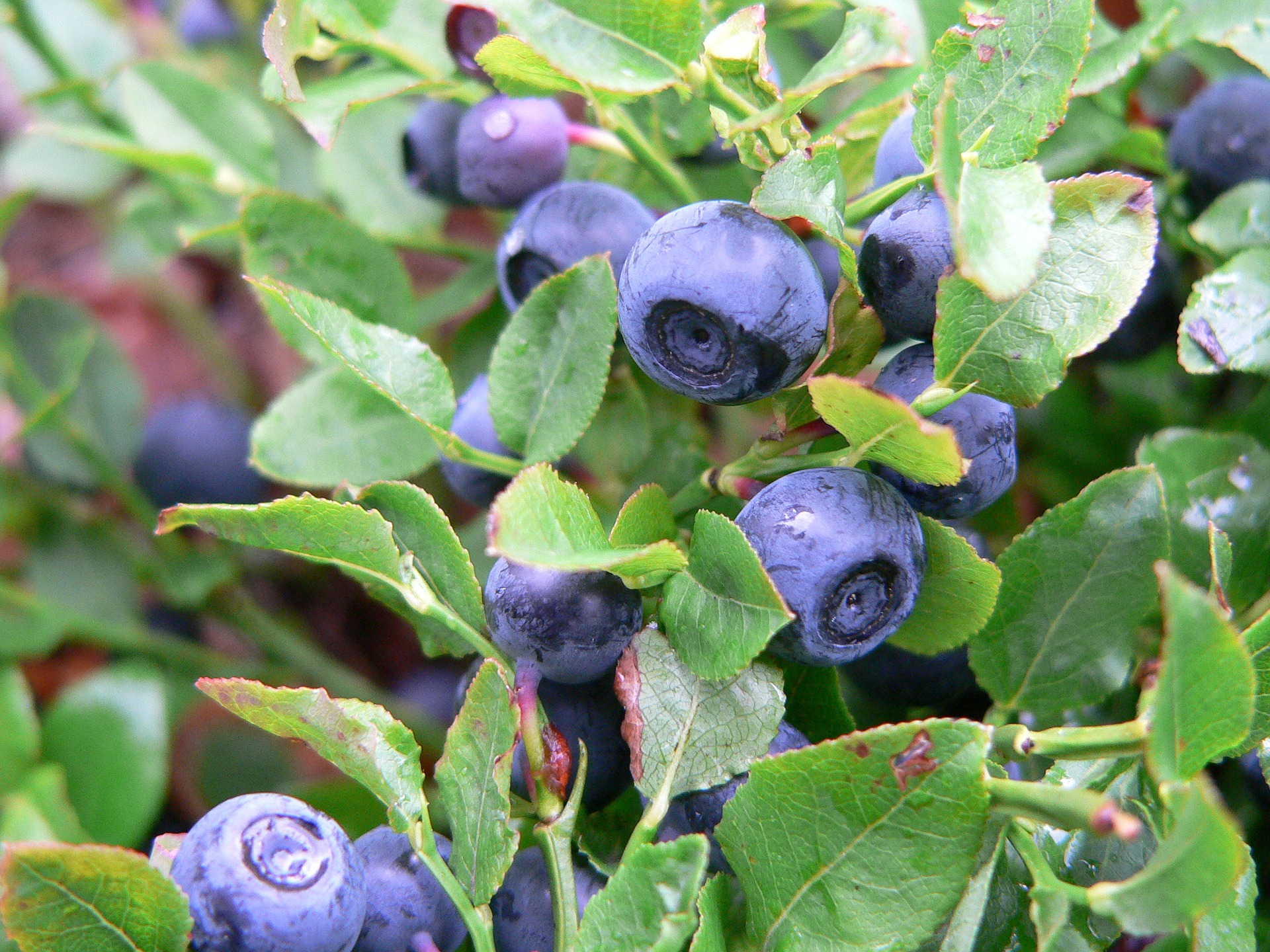 blueberries-2887933_1920.jpg