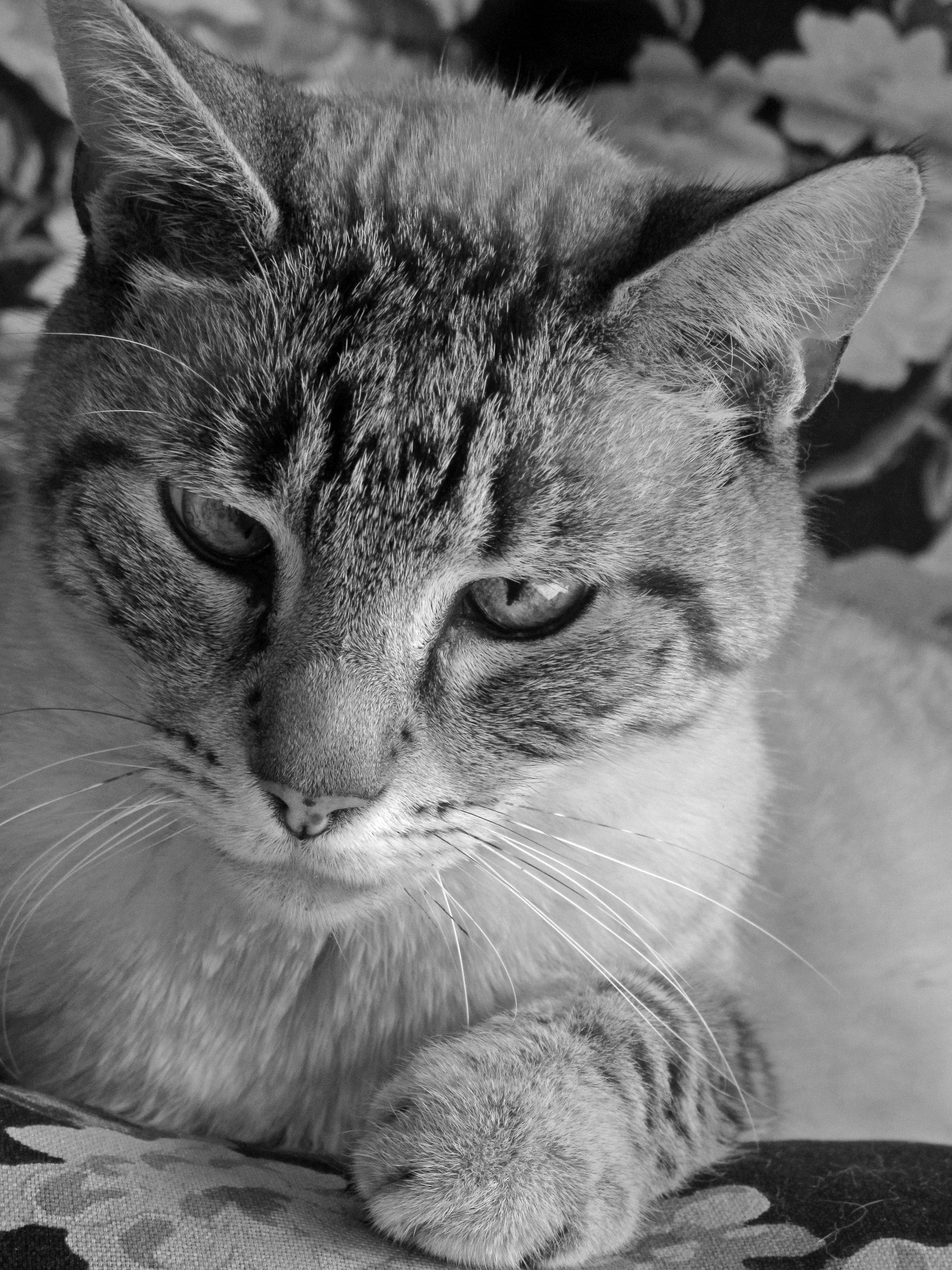 Tiffany_Cat.JPG