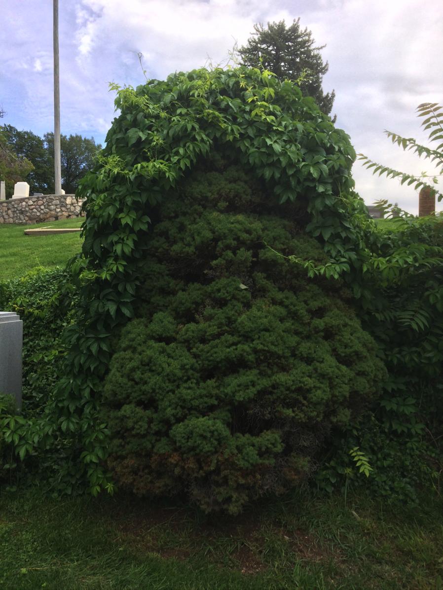an ivy toupee
