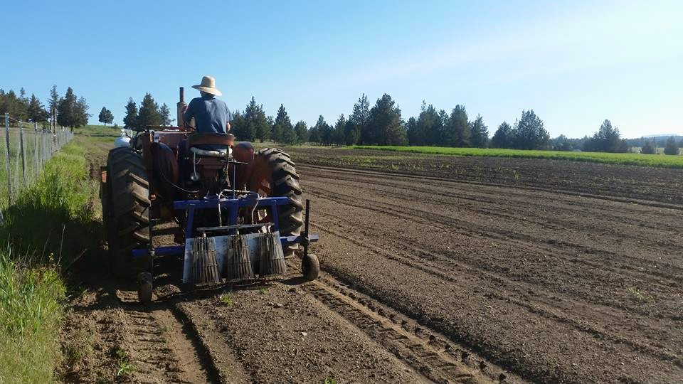 an EFFECTIVE TWC (thermal weed CONTROL) Program in a POTATO field. central oregon, usa