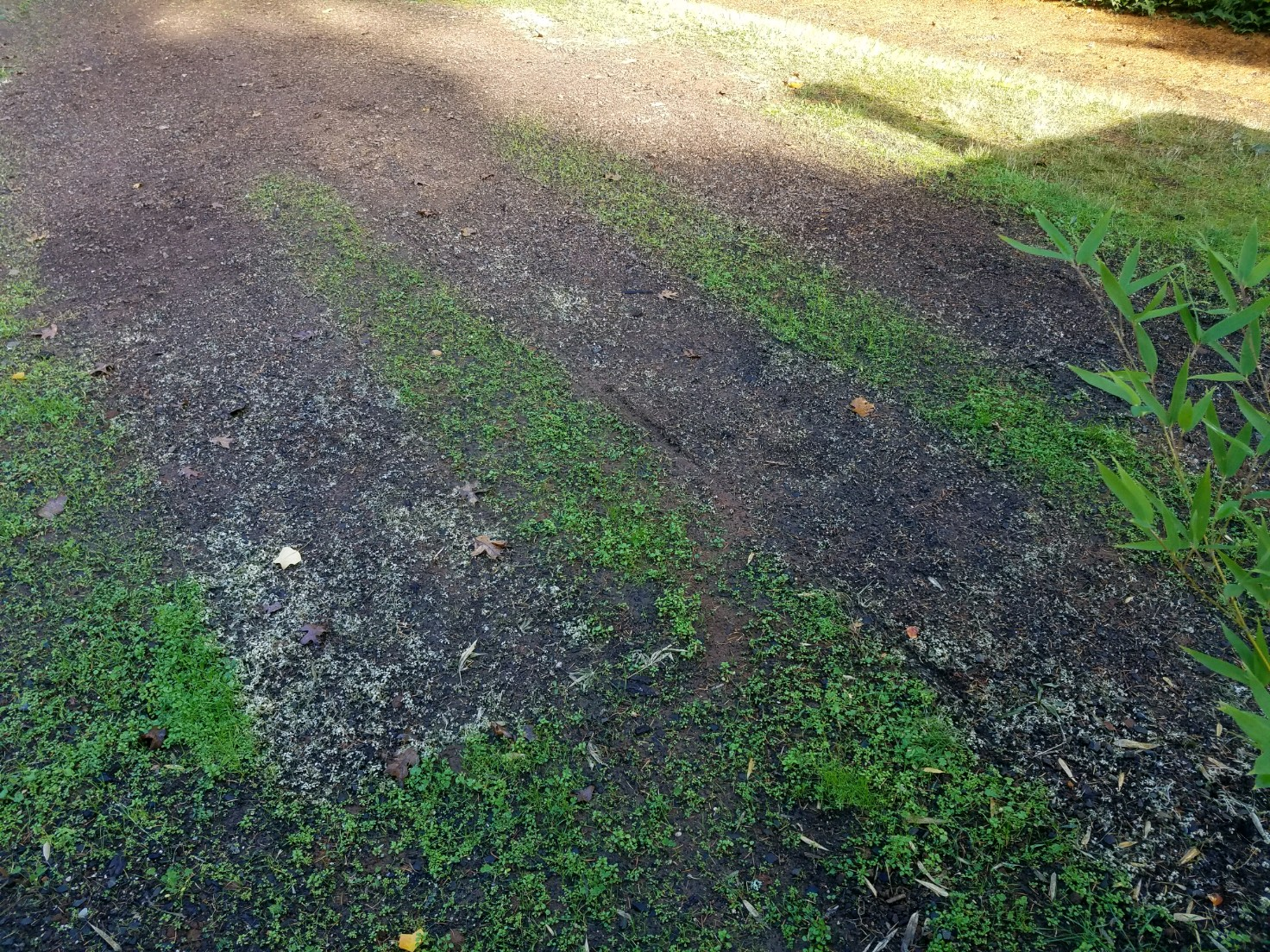 driveway 2 - several days after trtmt Field Cart.jpg