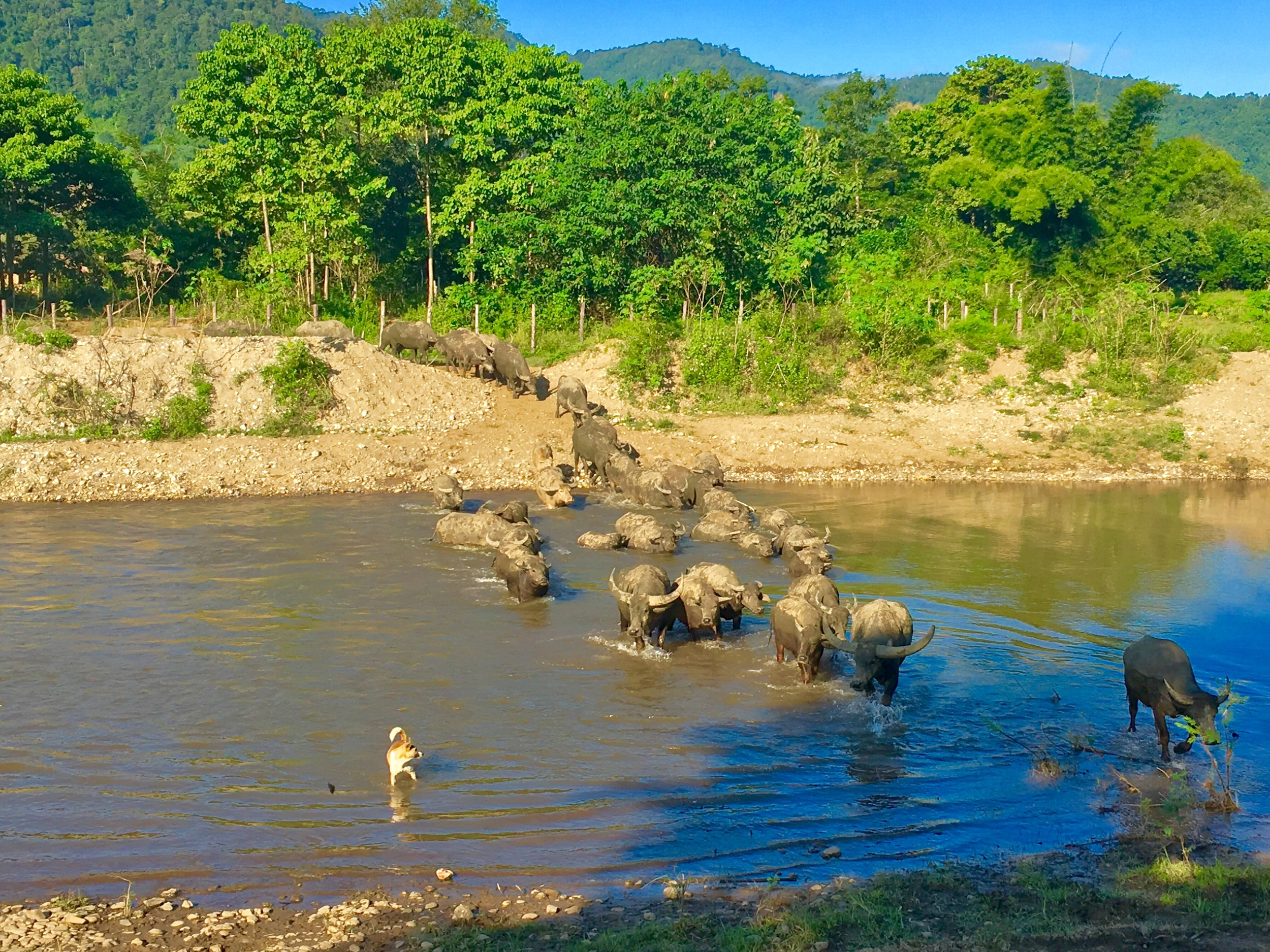 The herd of 77 water buffalo and one brave pup.