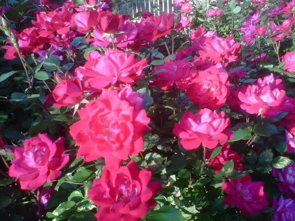 Cabin Roses.jpg
