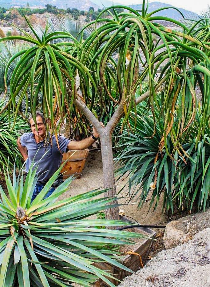 Aloe bainesii 24 box - 047 - 7-8 f x 7-8 ft 11-12-2013 3-52-51 PM 2848x4272 11-12-2013 3-52-51 PM 2848x4272.jpg
