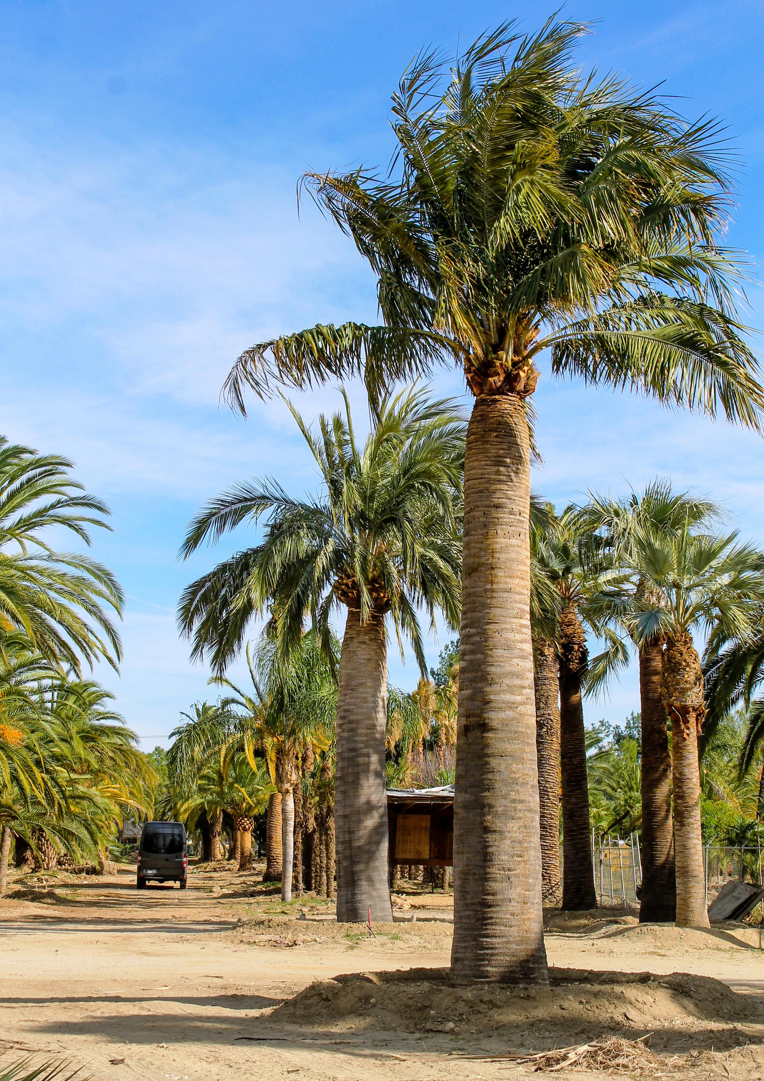 Jubea chilensis (Chilean wine palm) specimen by andMoni.jpg