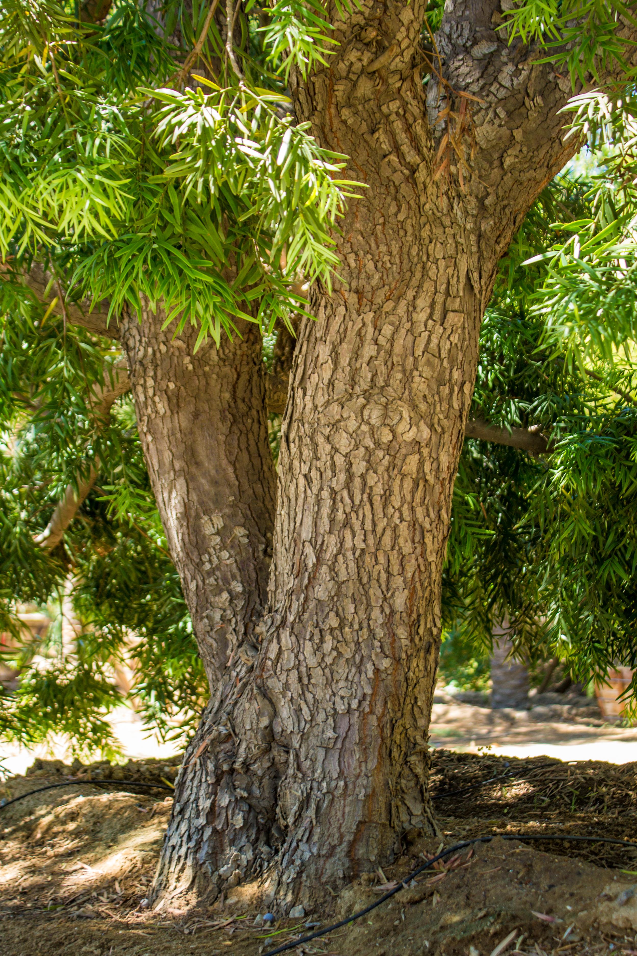 Podocarpus gracilior 96 box - 24 ft x 20 ft (2).jpg