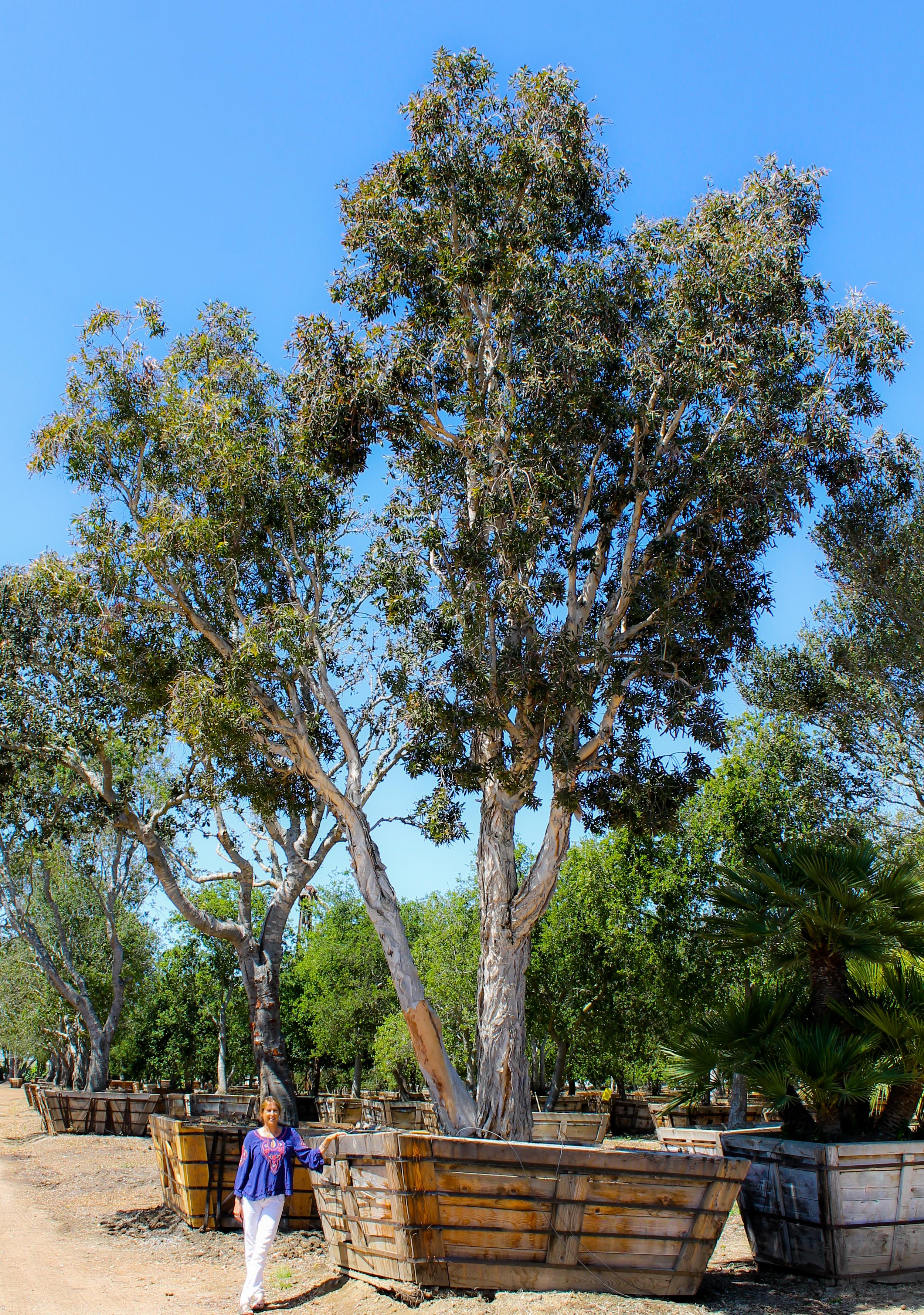 Melaleuca quinquenervia 108 box - 30 ft x 18 ft (5).jpg