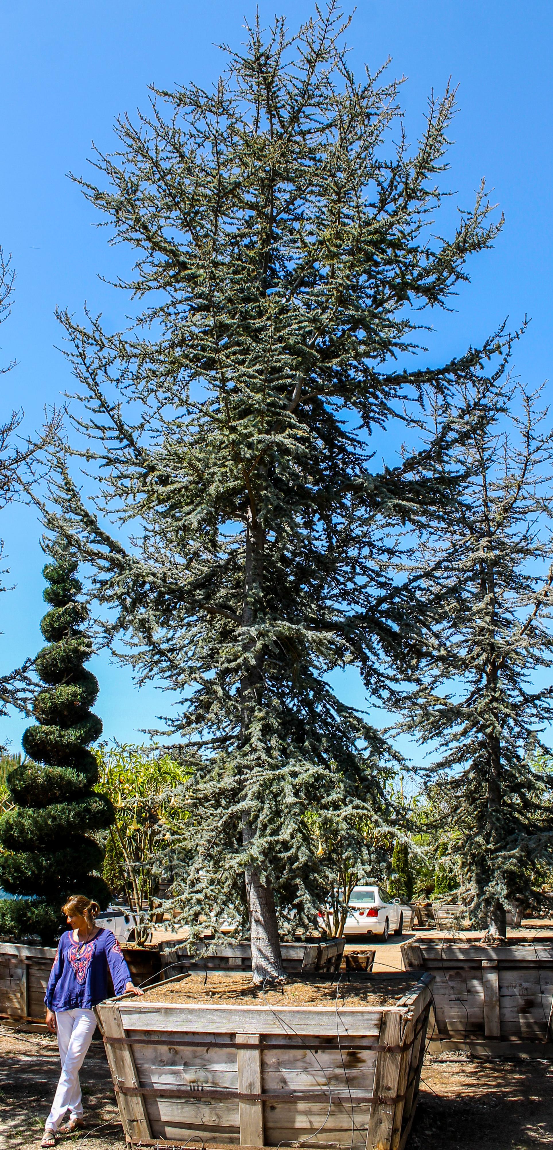 Cedar atlantica Glauca 72 box - 26 ft x 11 ft (2 units) (2).jpg