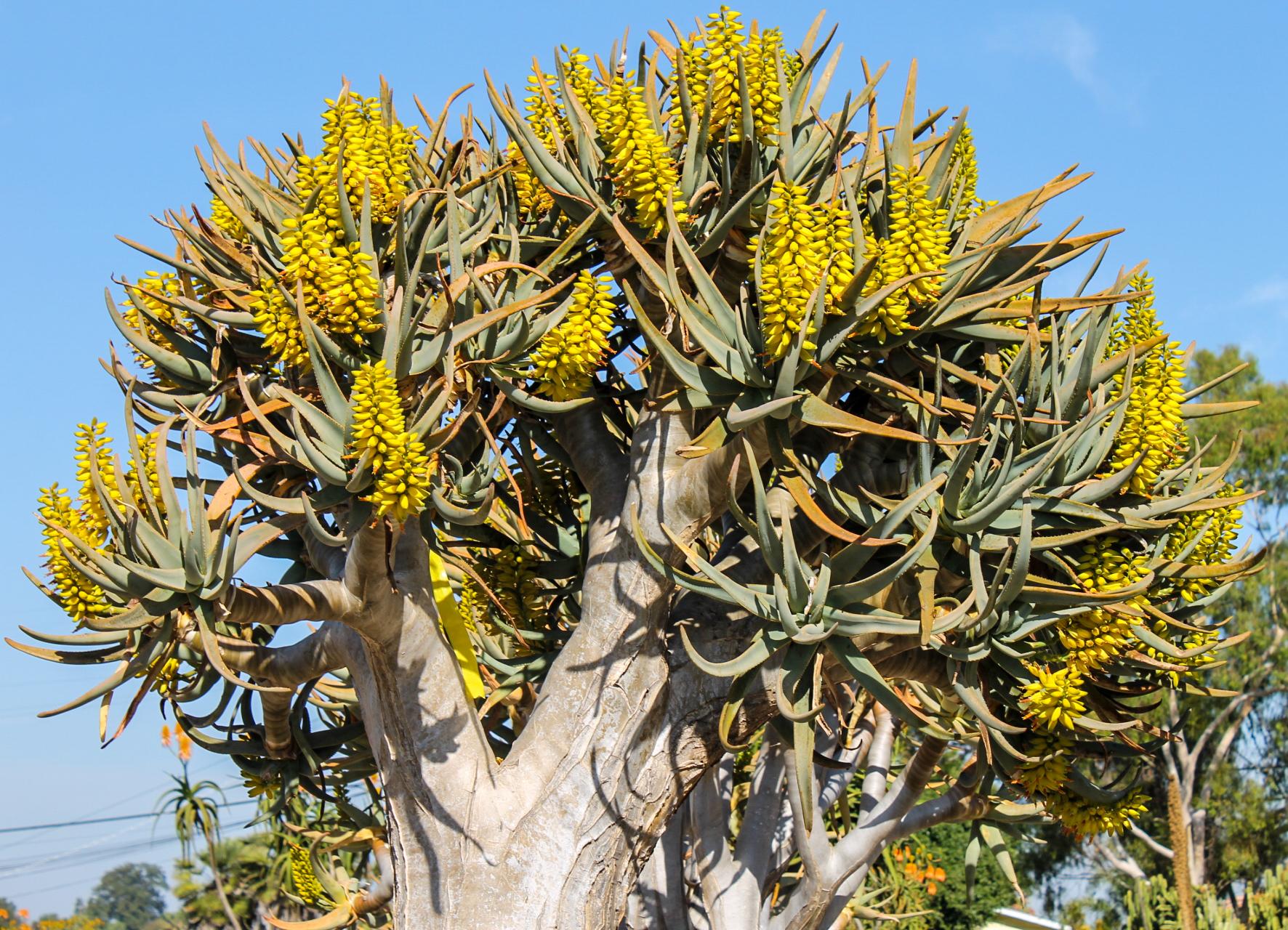 Aloe dichotoma blooming.jpg