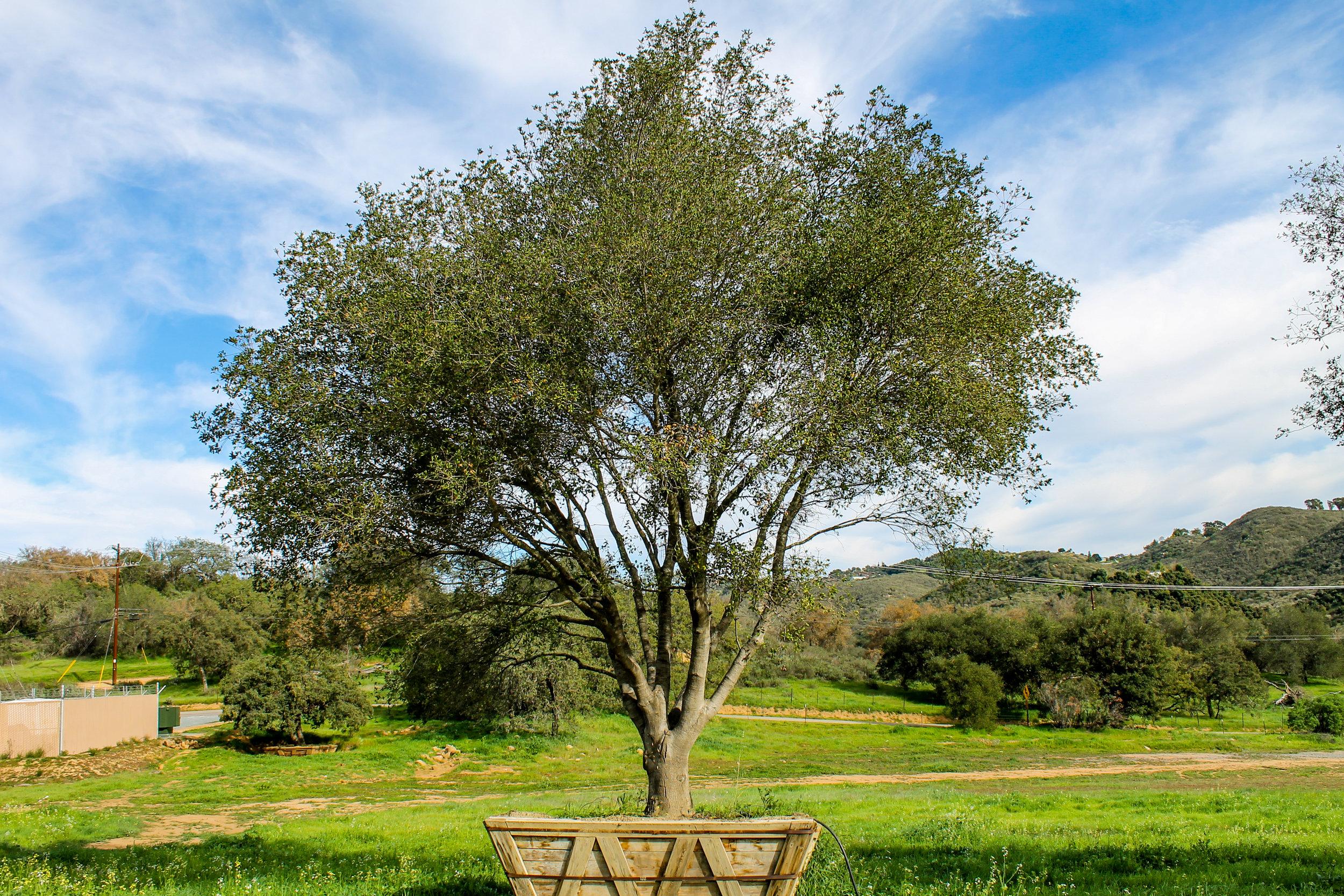 Quercus agrifolia 132 box - RL 1 - Available as 03-16 (1).jpg
