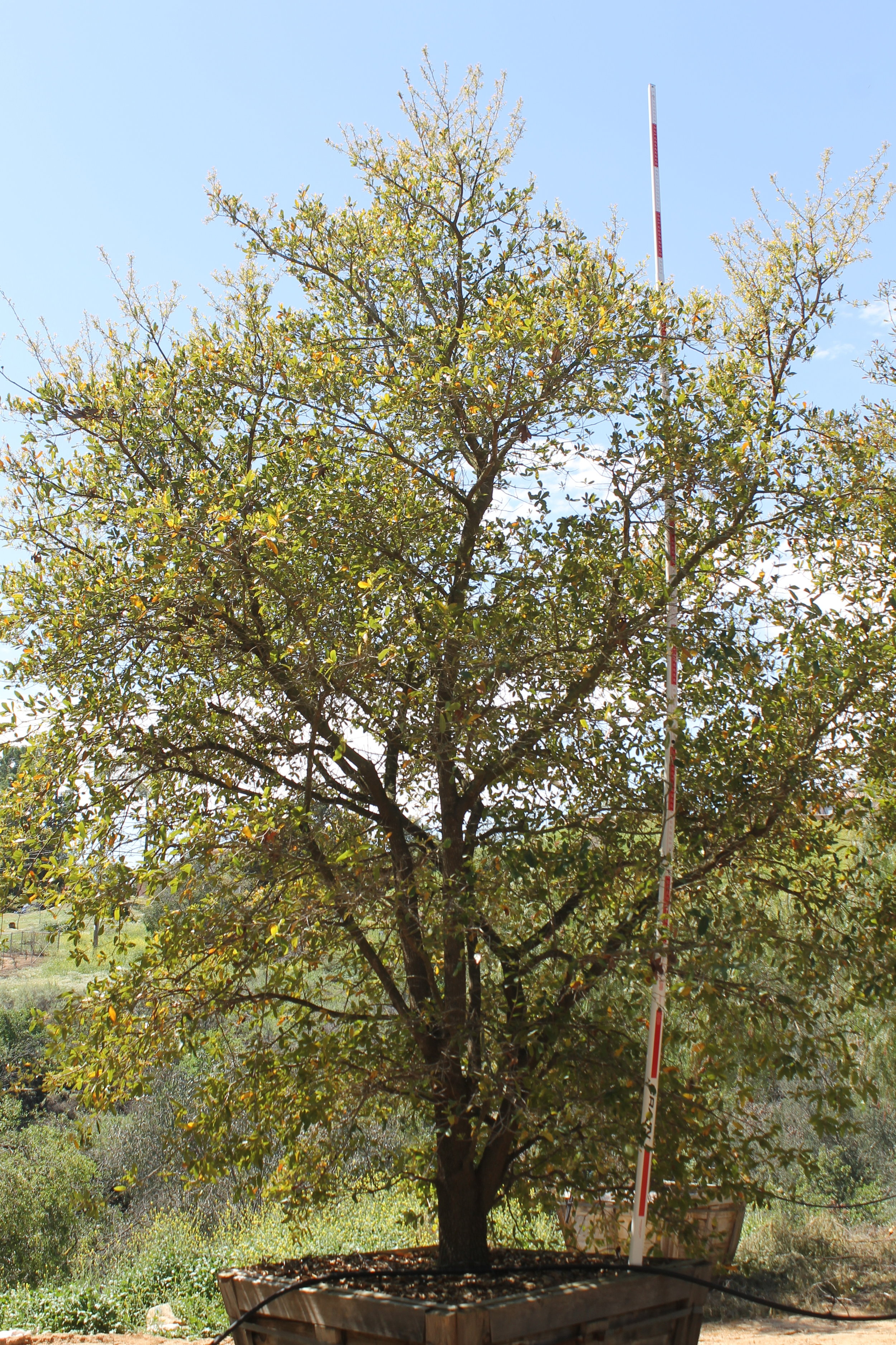 Quercus virginiana multi - 60 box - 16-20 ft x 10-15 ft