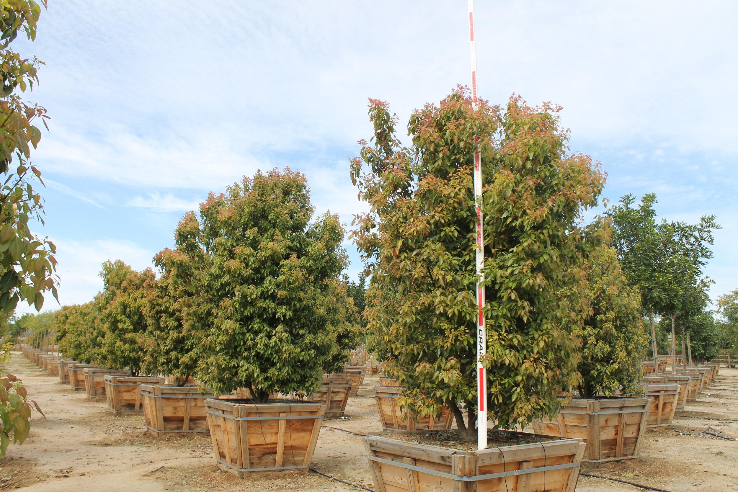 Cinnamomum camphora multi - 48 box - 8-10 ft x 6-7 ft