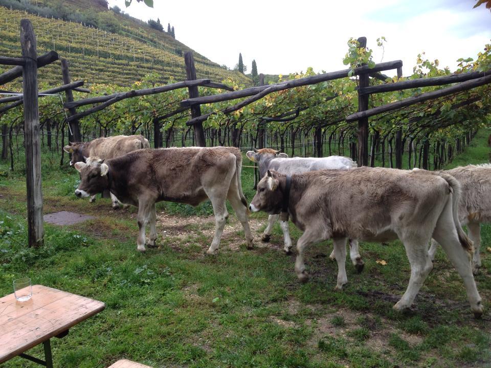 Das Original Schweizer Braunvieh auf dem Weg in den Weinberg