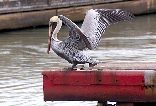 photo panama canal pelican