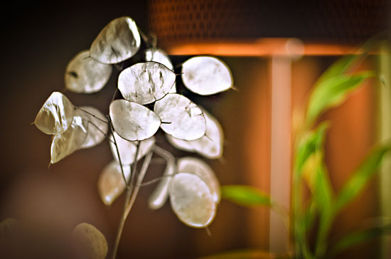 photo Lunaria Annua