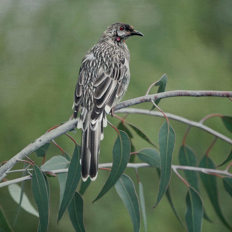 redwattlebird.jpg