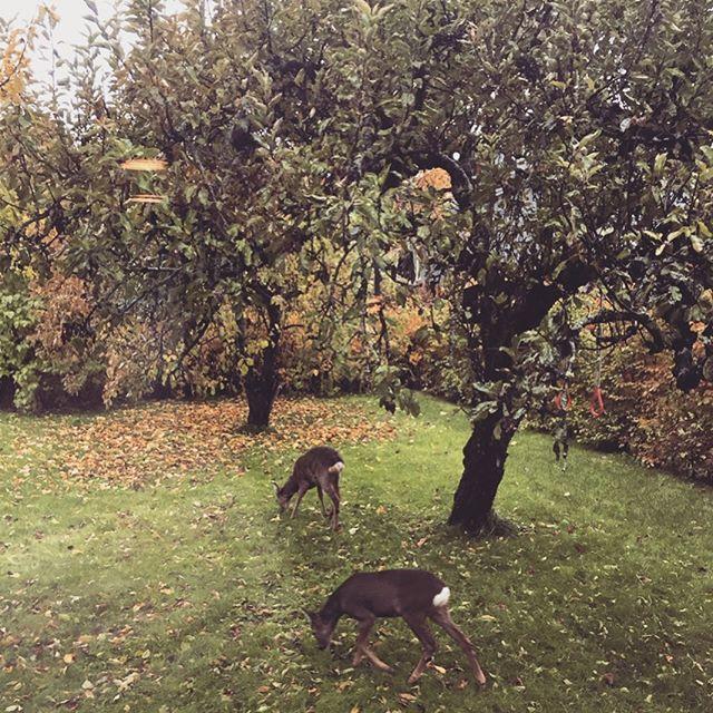 På epleslang i hagen #tattpåfersken