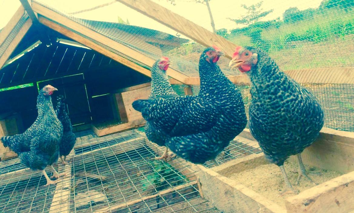 25. Chickens at farm - March 2016.jpg