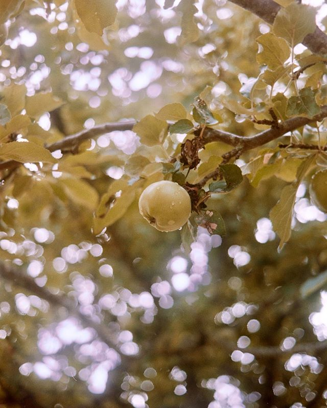 Favorite season.⠀⠀⠀⠀⠀⠀⠀⠀⠀ .⠀⠀⠀⠀⠀⠀⠀⠀⠀ .⠀⠀⠀⠀⠀⠀⠀⠀⠀ .⠀⠀⠀⠀⠀⠀⠀⠀⠀ .⠀⠀⠀⠀⠀⠀⠀⠀⠀ #35mm #film #filmphotography #fall #apples #autumn #orchard #minolta #food