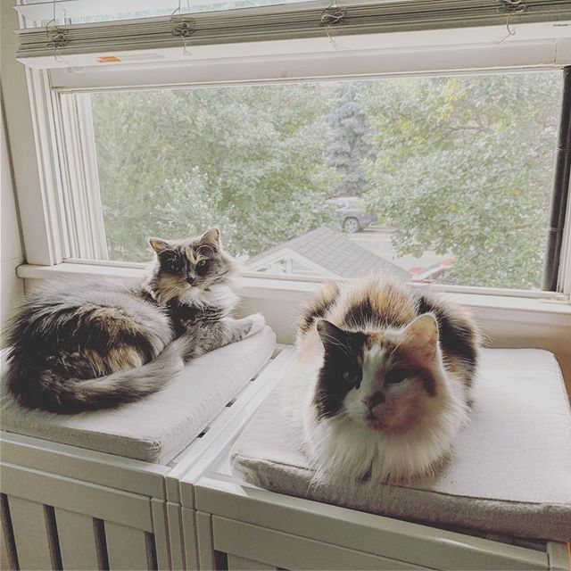Ladies being ladies . . . . #CatsOfInstagram #bestmeow #instacat #cat #catoftheday #pawpack #petsofinstagram #whiskers #mainecoon #mainecooncat #fluffy #topcatphoto #kitten #kitty #weeklyfluff #cutecatcrew #instacat #petstagram #gato #chat #kato #pussycat #meow #meowbox #cuddle #mew #paws