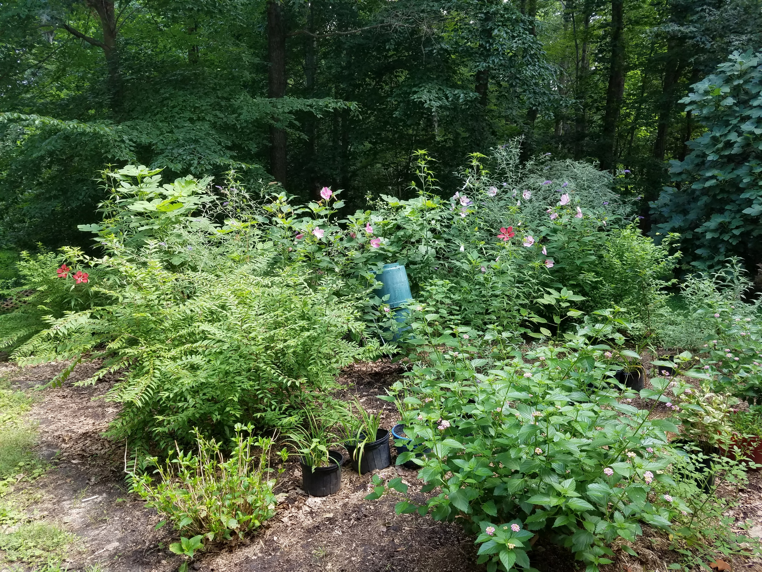 Our tumbler composter sits amidst a forest of hibiscus and buddleia