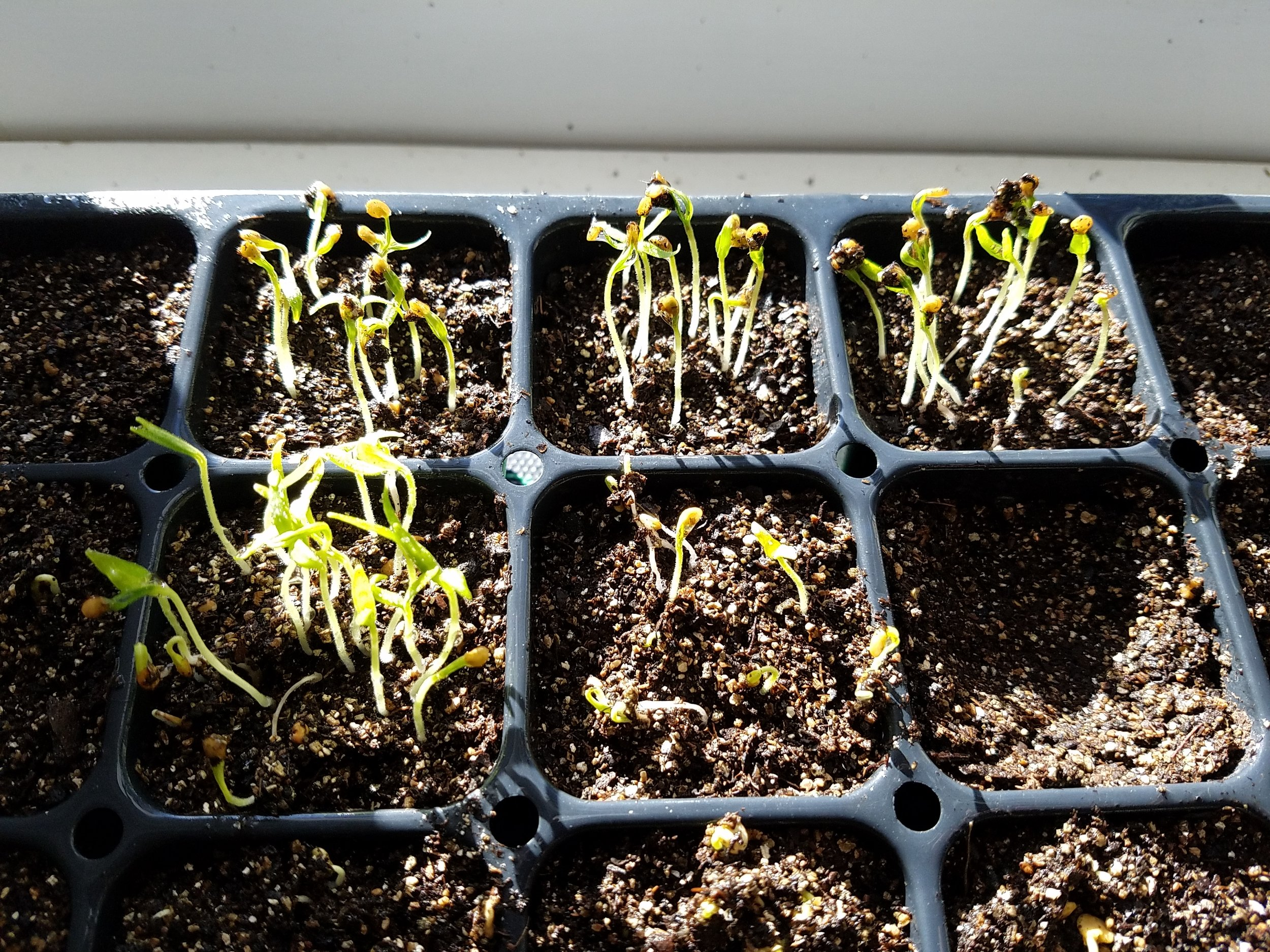 Eggplant seedlings emerging
