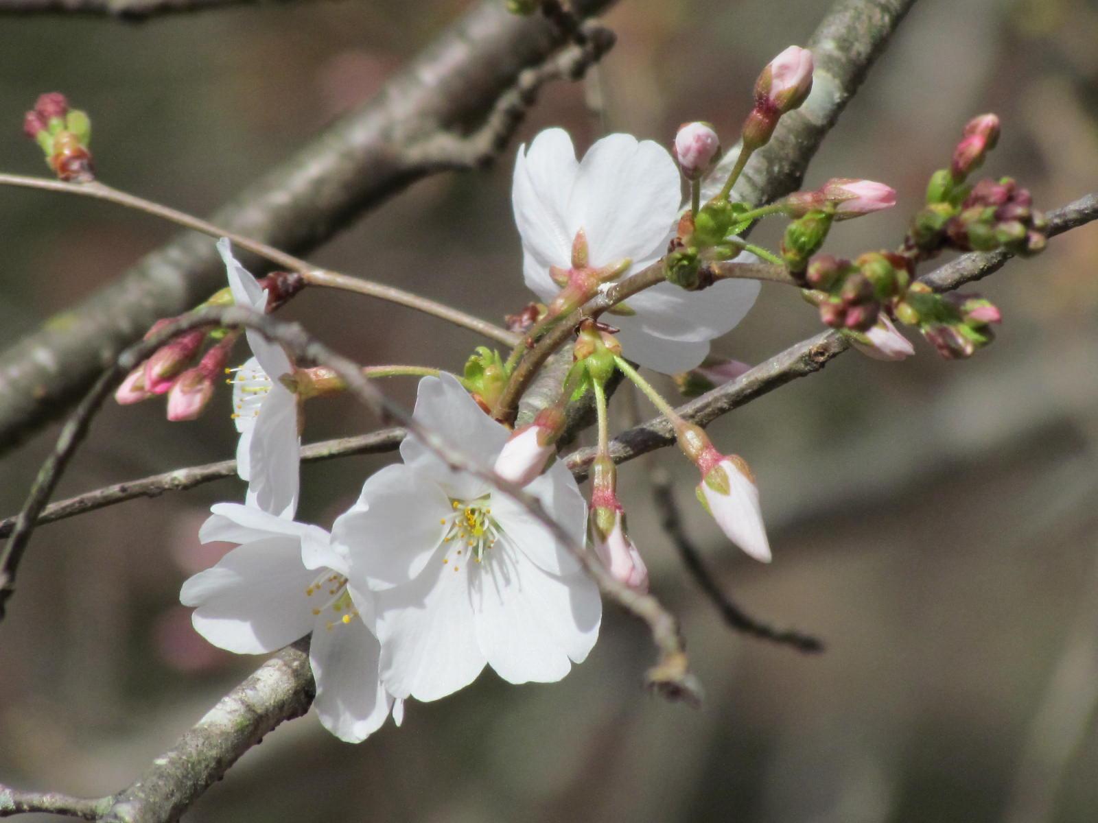 Cherry Blossoms 2 Feb 28 2017.JPG