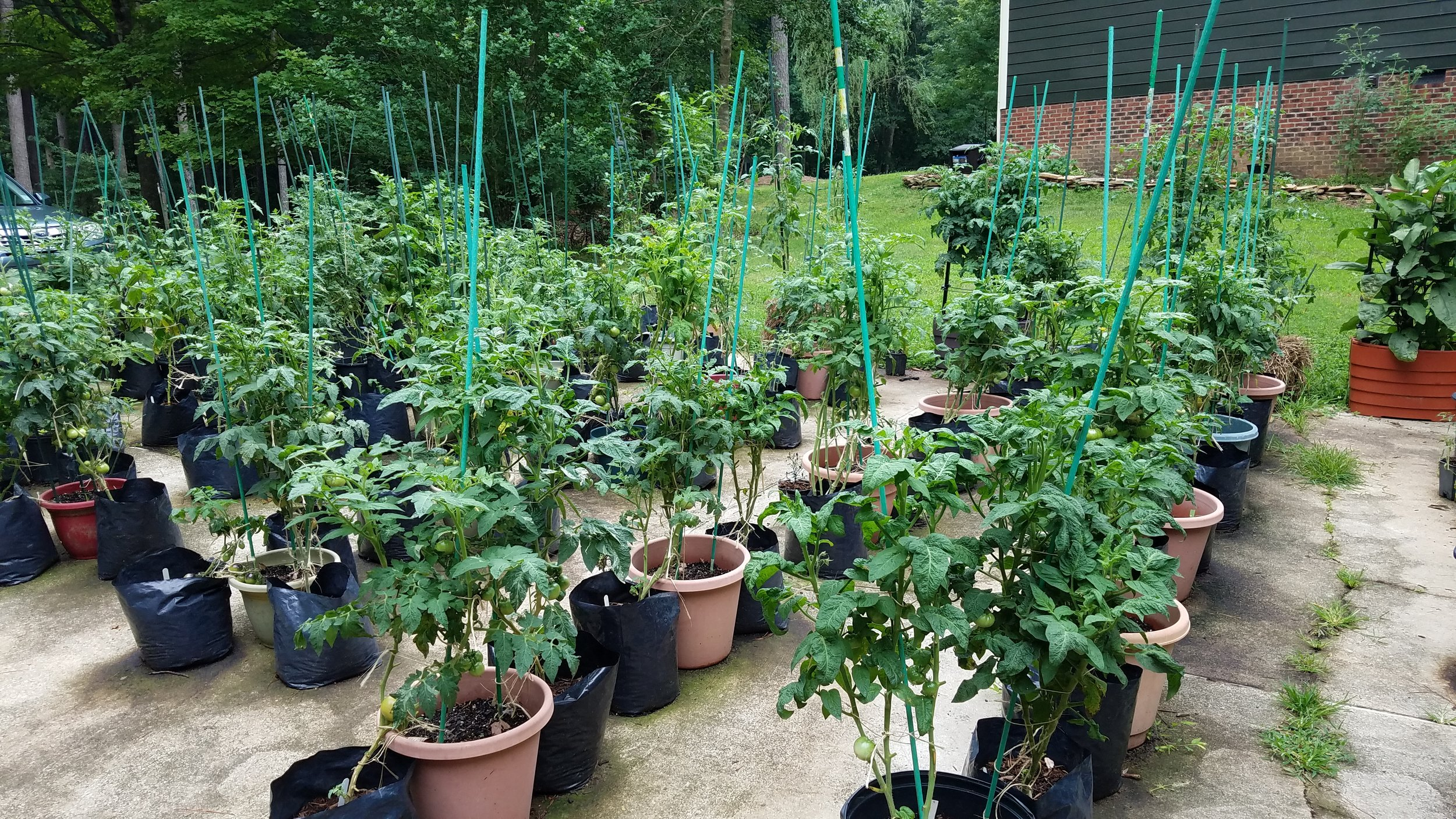 Two rows of the released dwarf tomatoes discussed in this blog