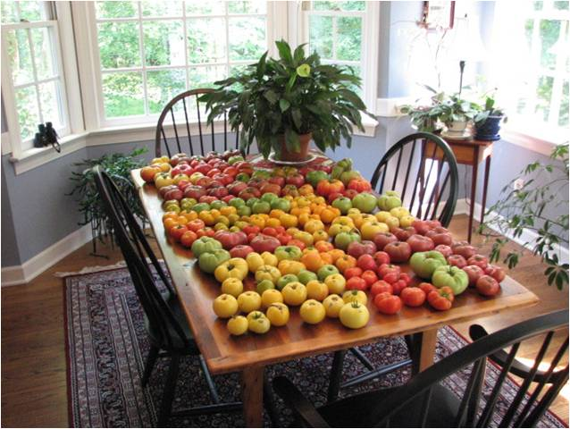 Dwarf Tomato R&D in 2007 - ALL tomatoes on this table are from our early Dwarf Tomato Project efforts.