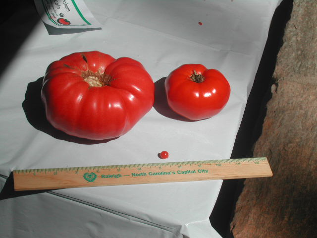 One of my favorite Tomatopalooza pictures, from 2004 - Tennessee Britches (the monster on the left), with Red Brandywine on the right - and poor tiny Mexico Midget in front (tiny in size, not in flavor!)