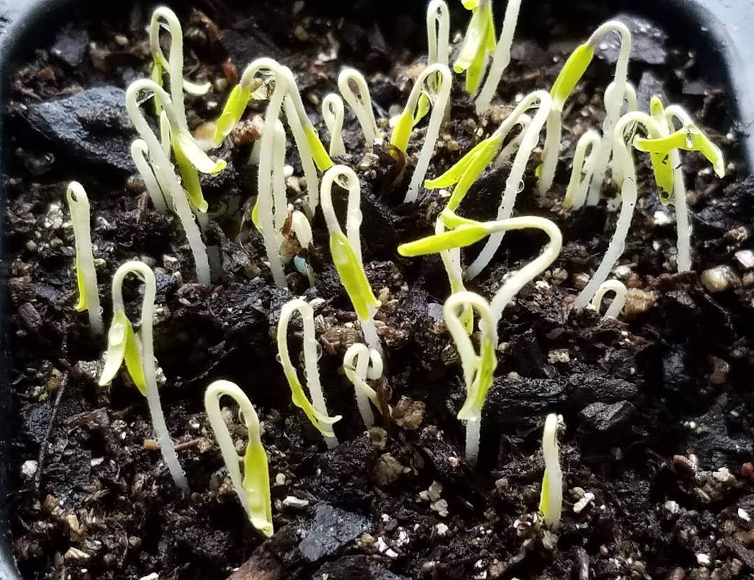 Up they come! Tomato seedlings after 6 days