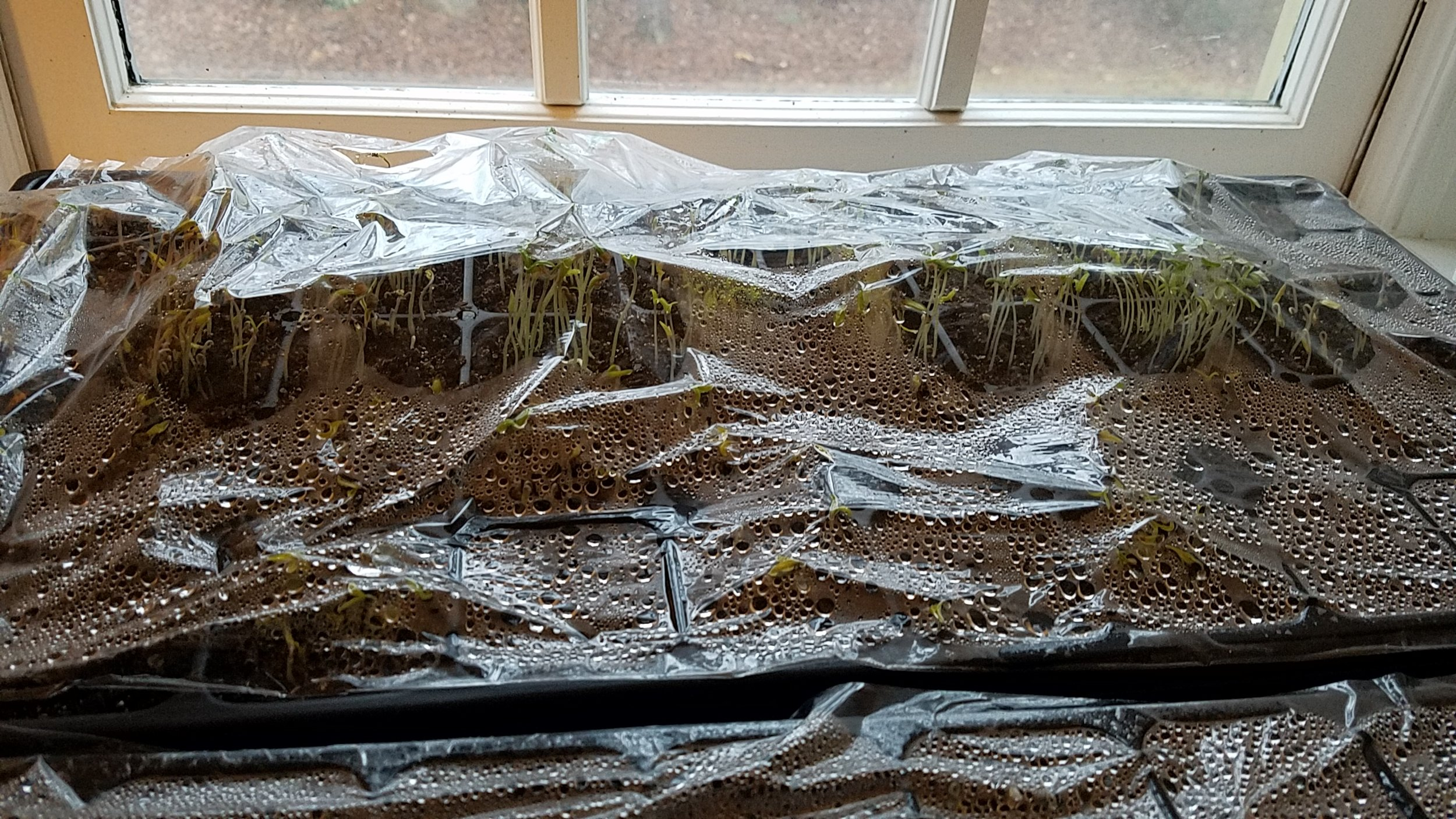 Germinating flat - morning, prior to flipping the plastic