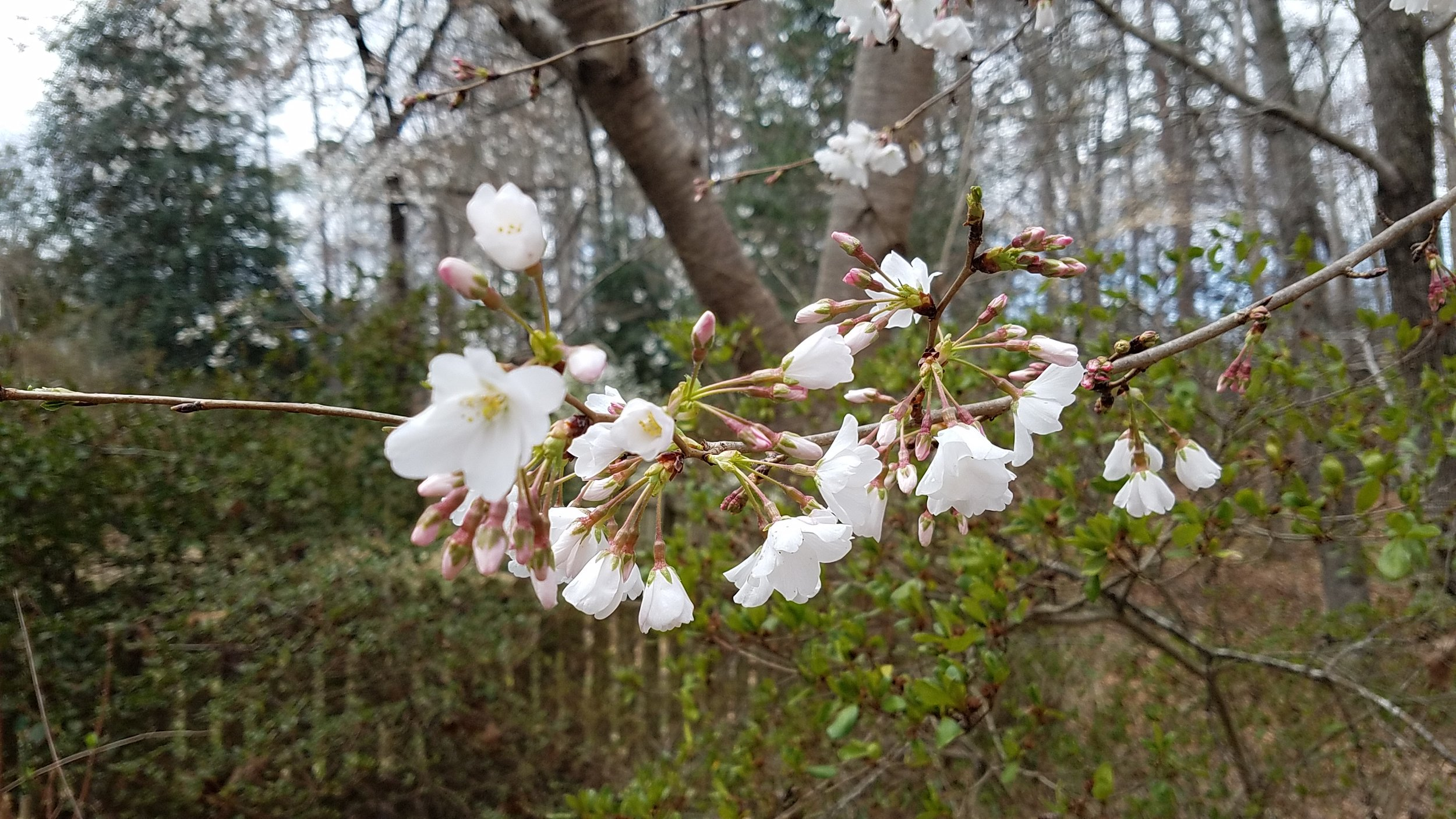early March cherry blossoms