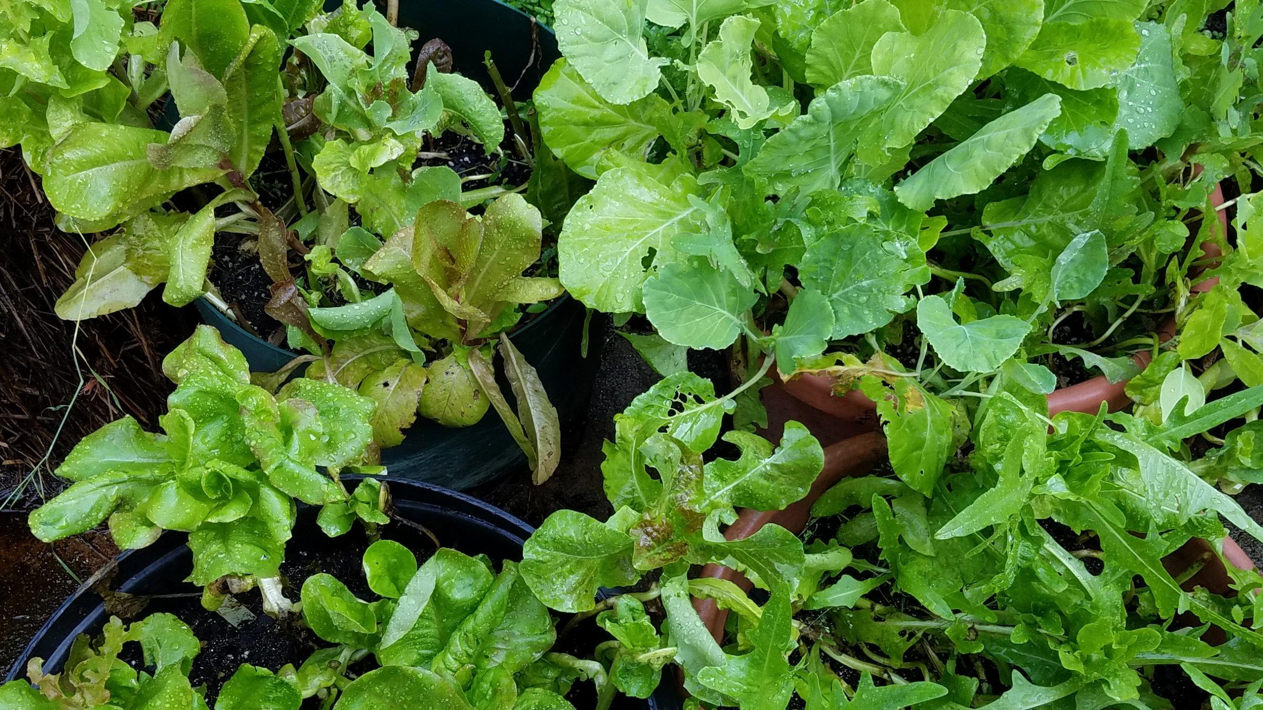 lettuce June 11.jpg