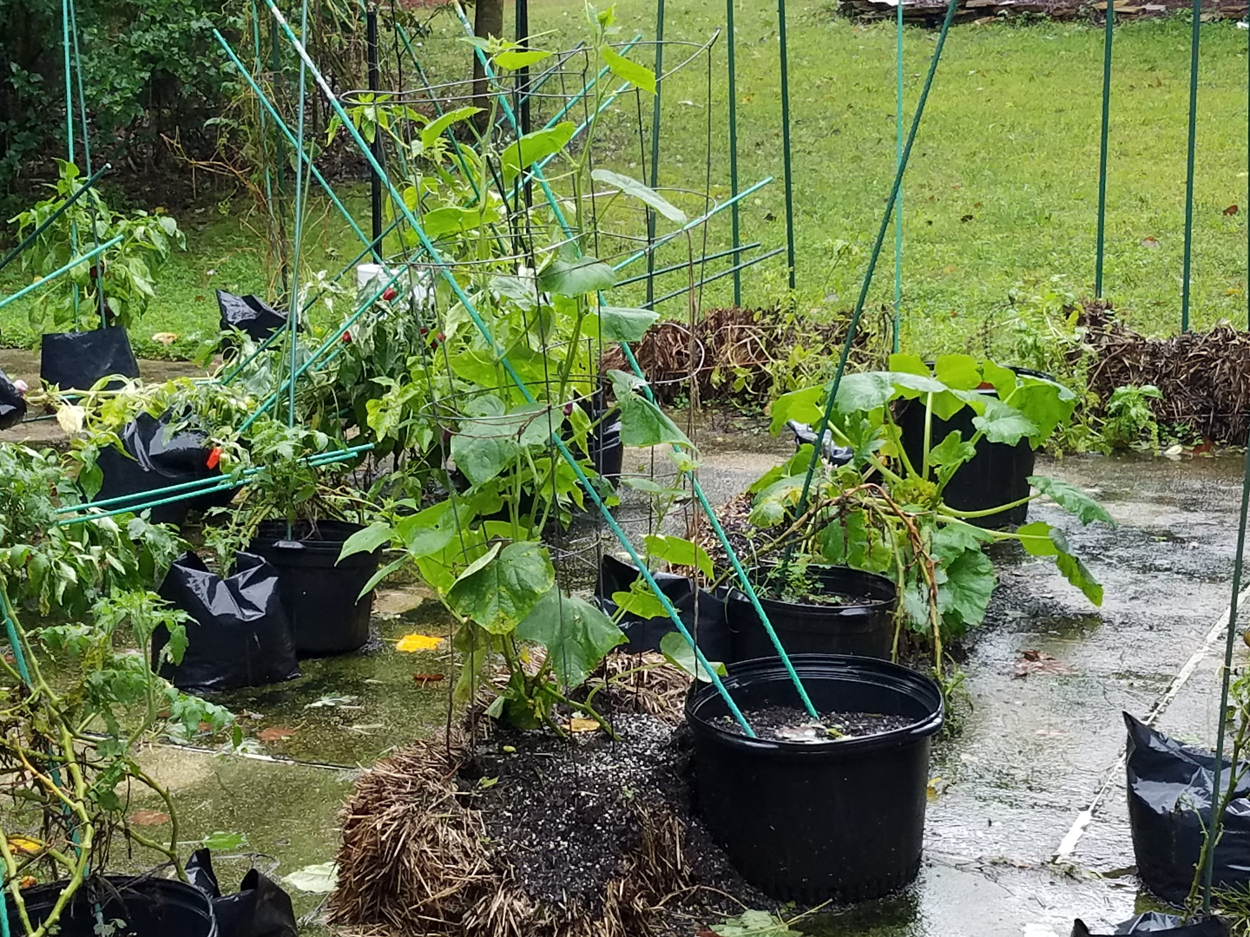 Second planted cukes (foreground) and summer squash, well watered by Florence