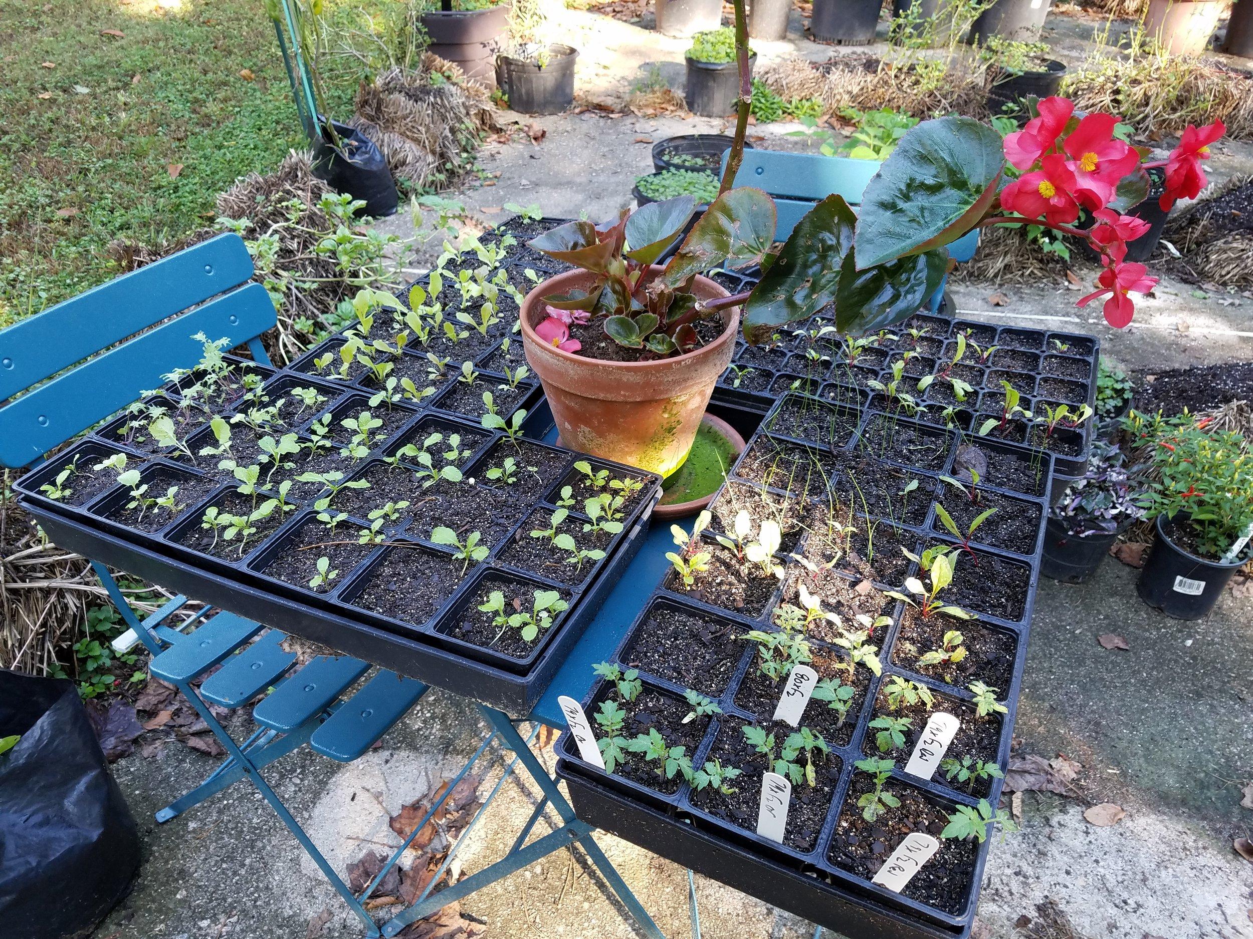 Recently transplanted seedlings sizing up for fall planting