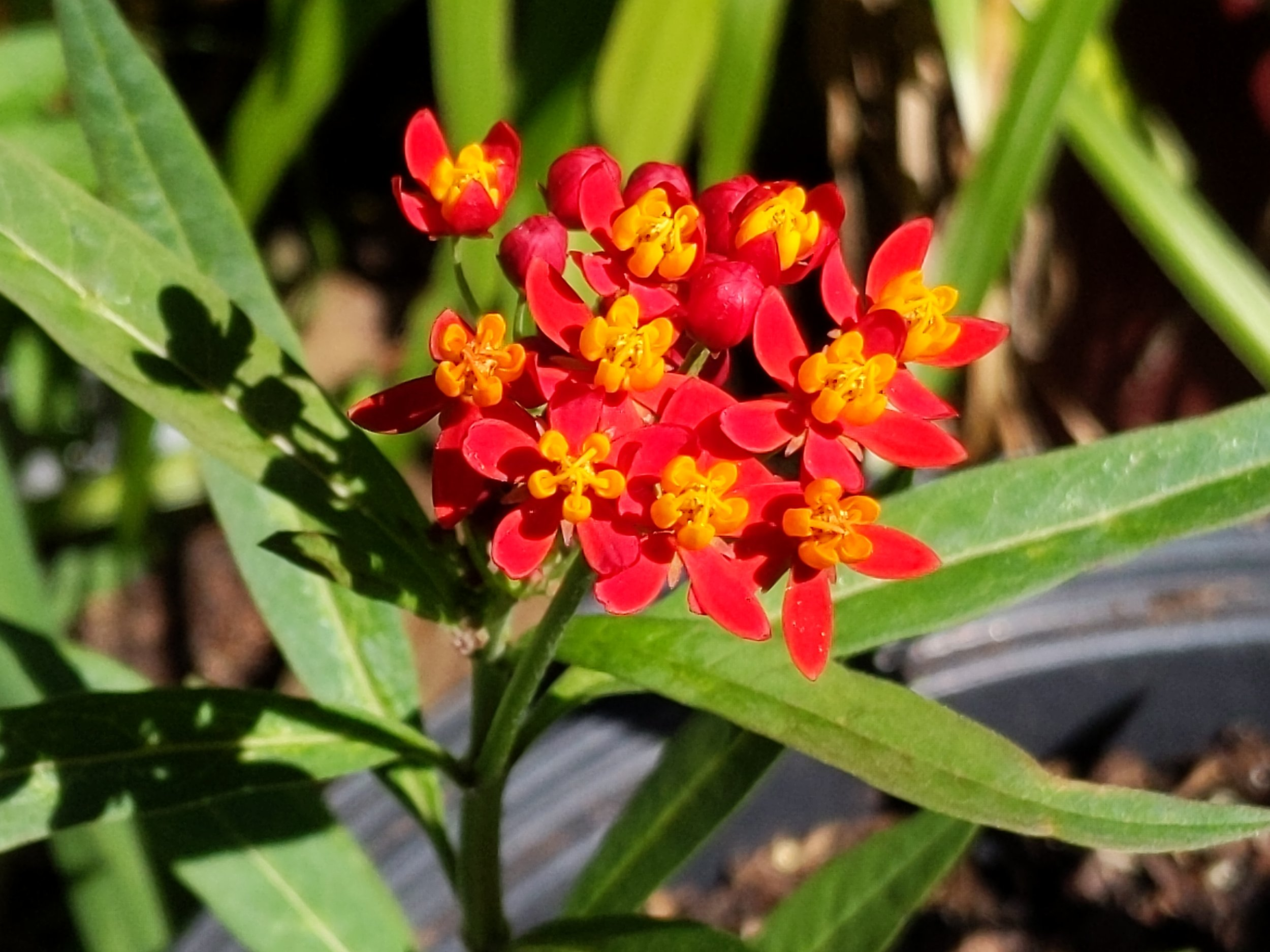 Butterfly weed grown from seed collected from a neighbor's plant