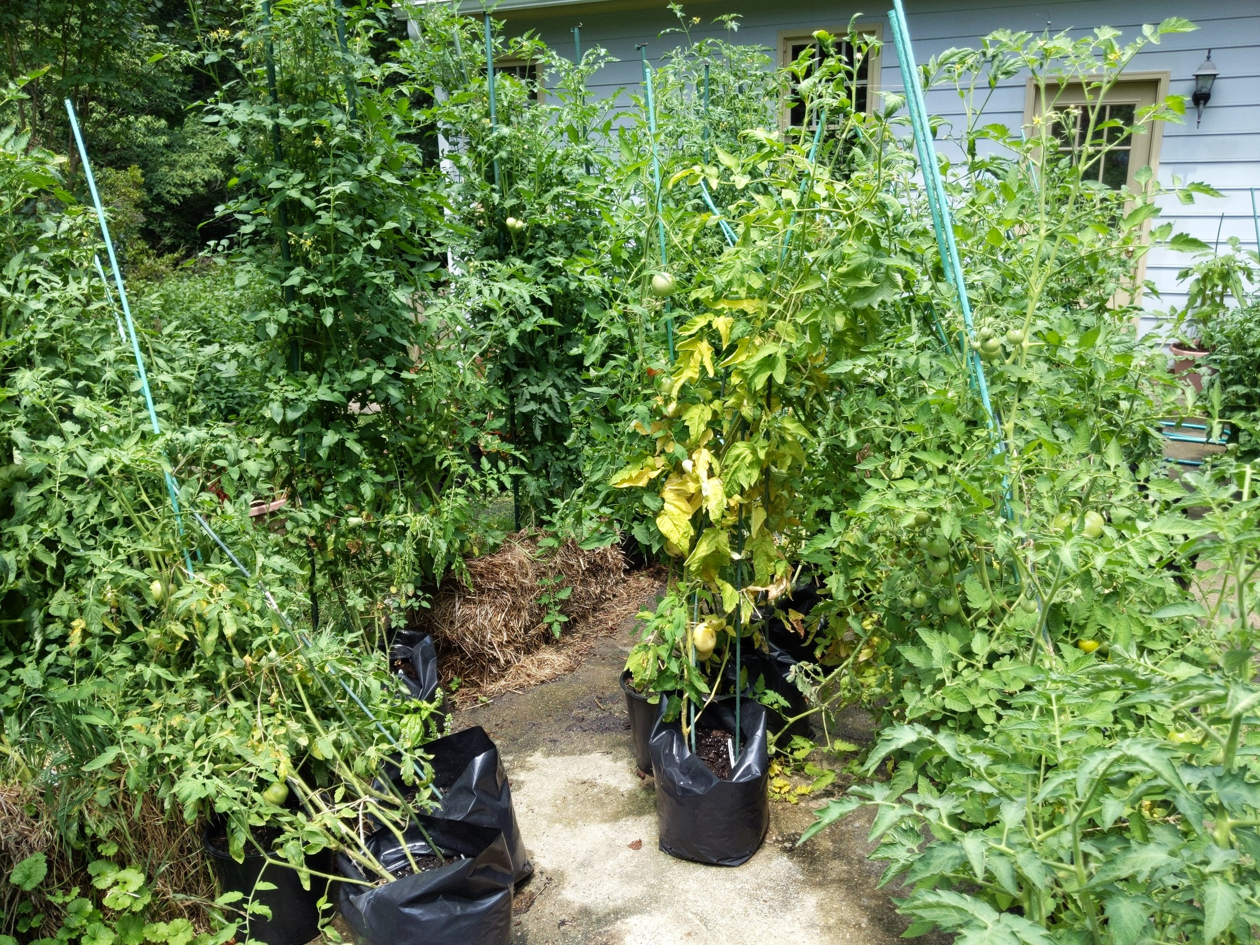 Area rearranged by weather (windy storm) and heavy plants laden with tomatoes that are too much for my support system
