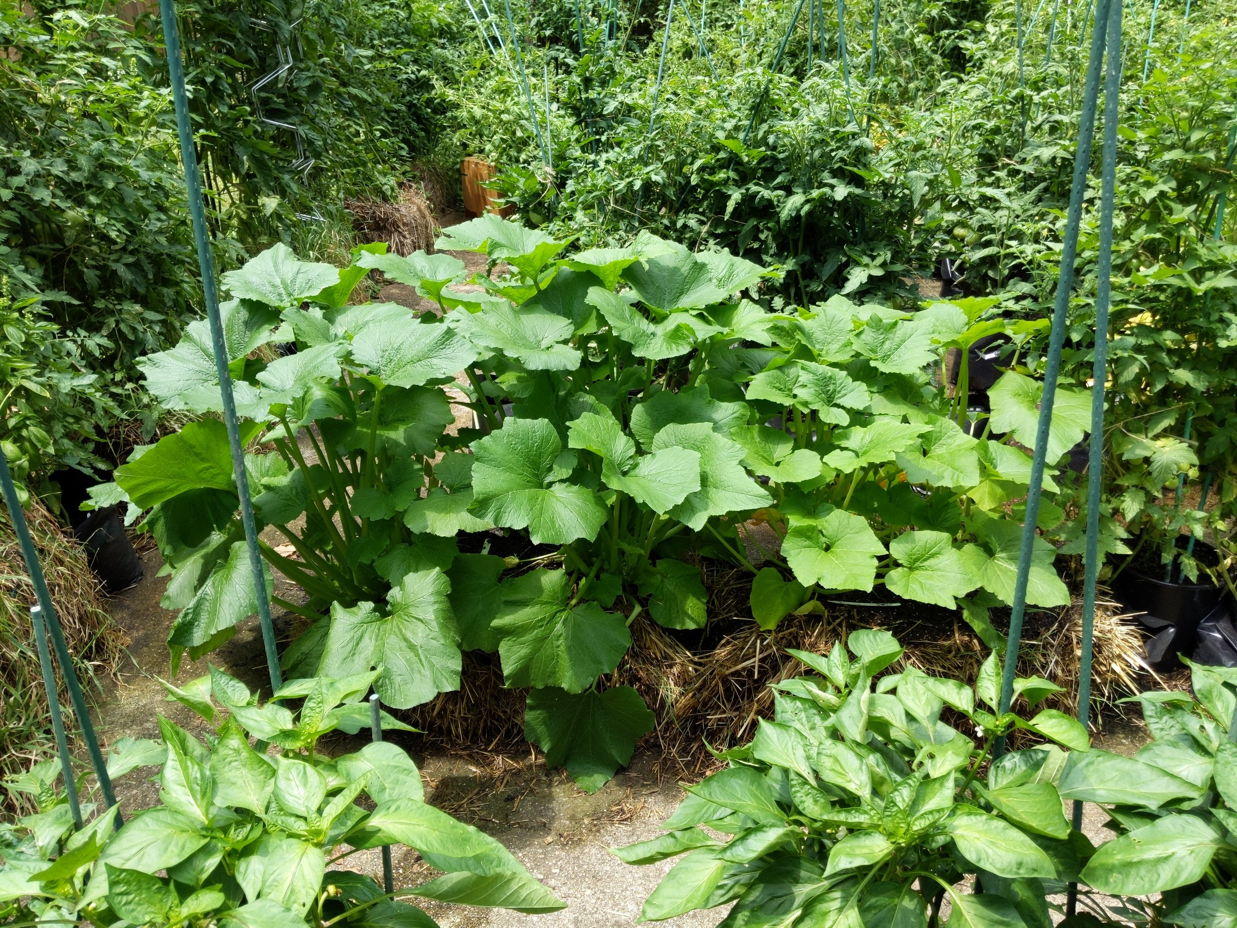 Summer squash growing well in straw bales